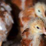 zatrute kurczaki