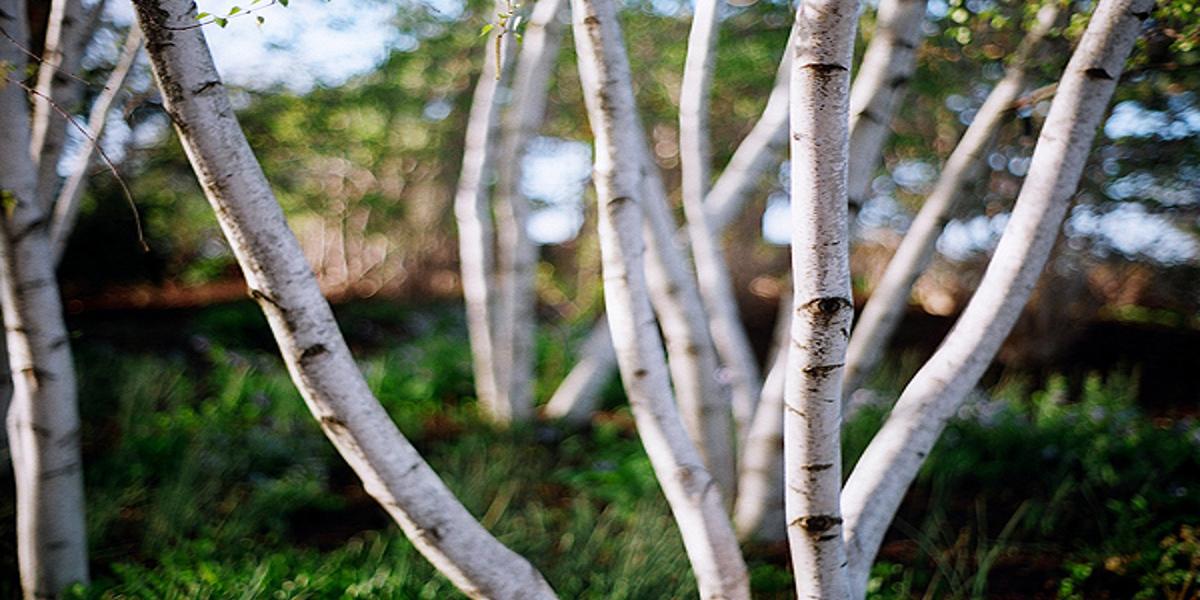 Dym z brzozy skuteczny w walce z gronkowcem złocistym