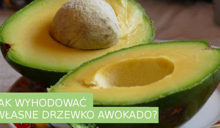 Jak wyhodować własne drzewo Awokado z pestki? To bardzo proste! 🌱