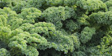 Jarmuż – właściwości zdrowotne, postaci spożycia, dania z jarmużem